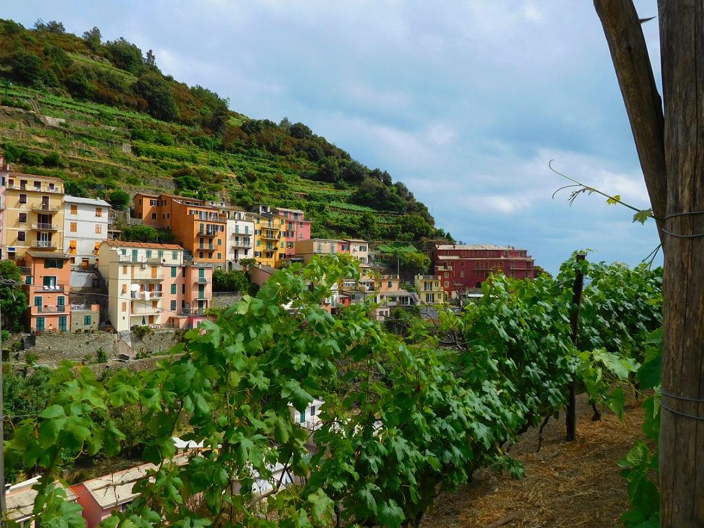 當地居民在山丘上種植葡萄樹