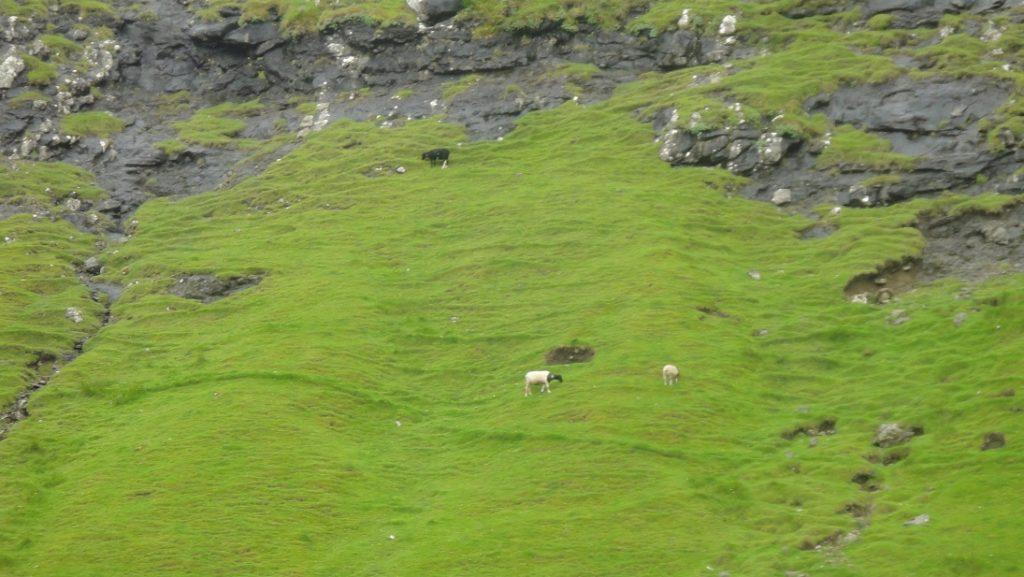 峭壁上放養的羊兒